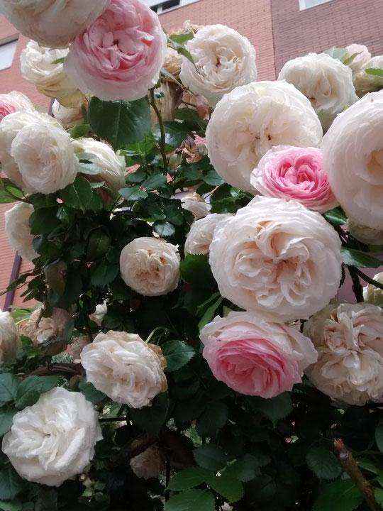 Mis rosas...........¡ Divinas ! . Merche.