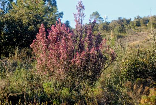 Brezo rosa, muy común por estos lares.