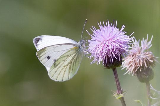 Chupando el néctar de las flores.