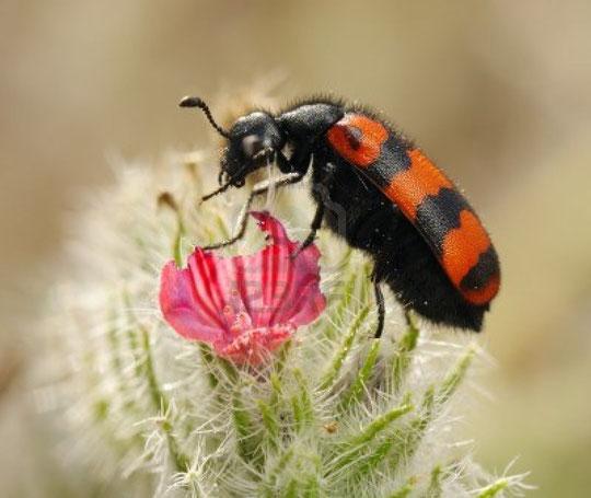 Variedad de escarabajo.