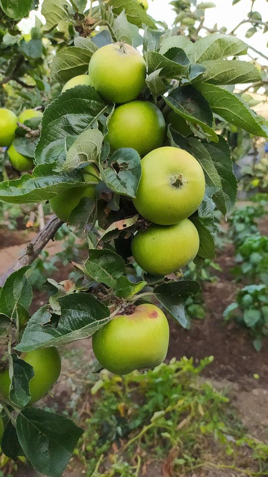 Manzanas reinetas en la  garniela. Detalle. F. Merche. P. Privada. Año 2020.