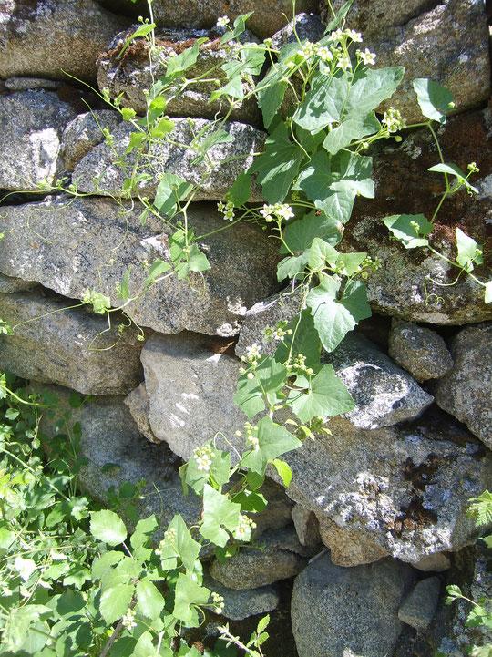 Variedad de espárrago silvestre. Merche 2012.