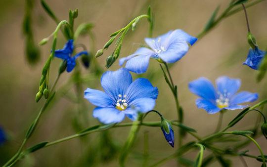 Flor de Lino. Merche. P. P.