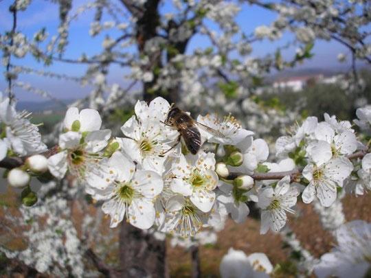 Flor de ciruelo: detalle. F. Merche. P. Privada.