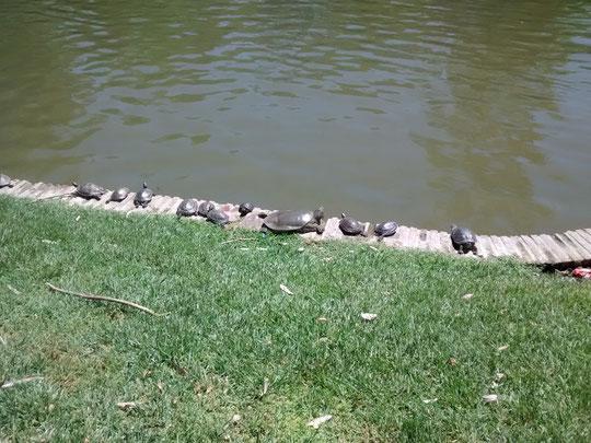 Salimos y en el estanque del palacio encontramos estas lindas tortugas tomando el sol. F. Merche. P. Privada.