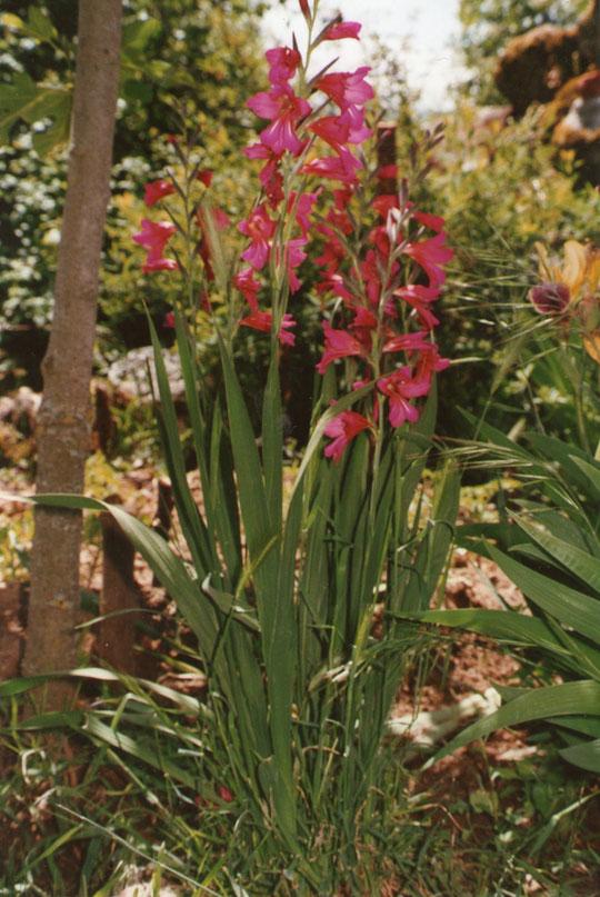 F. Merche. P. Privada. Gladiolillos en mi jardín.