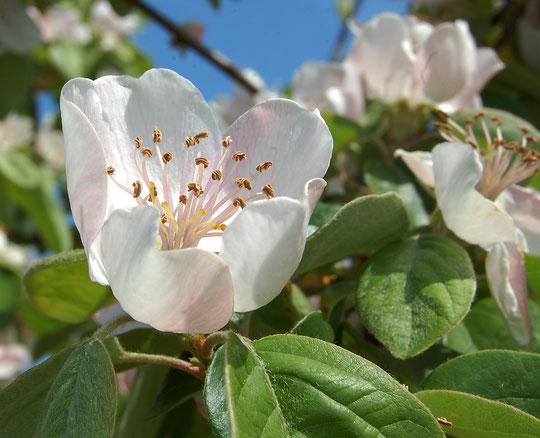 Flor de membrillo: detalle.