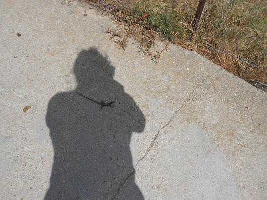 Esta lagartija arrastra su tripa por el asfalto caliente. Está tan asfixiada que aprovecha mi sombra para protegerse. Merche.