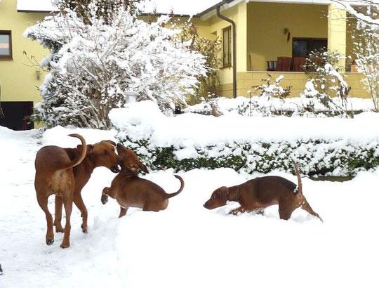Mama Onnie, spielt mit Barney und Balou. Die letzten von 9 Welpen, werden auch bald zu ihren neuen Familien ziehen !!