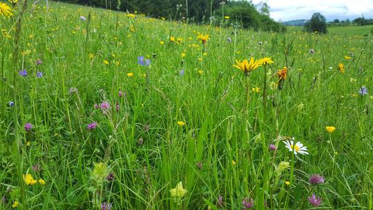 Eine unserer Wiesen die nicht gespritzt oder mit Chemikalien gedüngt wird. Hier wachsen sehr viele Blumen und gesunde Kräuter