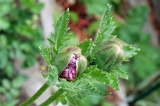 Papaver orientale 'Patty´s Plum'