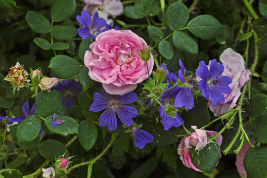 'The Hon Mrs. Cat mit Geranium 'Johnsons´s Blue'