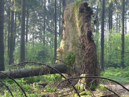 Halt heute die Augen auf meinten die Waldarbeiter, die extremen Regenfälle nach wochenlanger Trockenheit haben die Standfestigkeit der 30 m Tannen stark reduziert weil nur dünne Erdschicht auf Fels in dem Gebiet