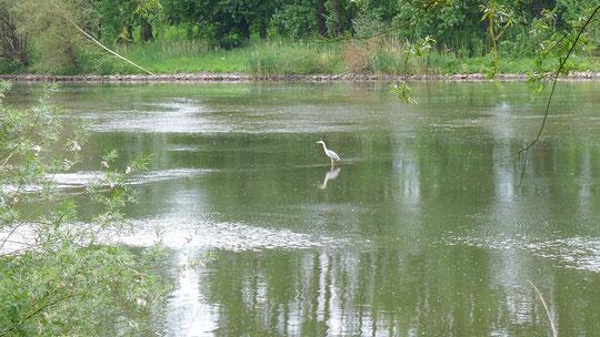 Auf meinem Weg am Main entlang war wohl heute Jahreshauptversammlung der Fischreiher. Hab viele gesehen.