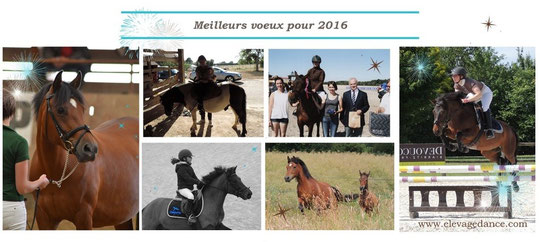 Elevage Dance, poneys New-Forest, meilleurs voeux 2016