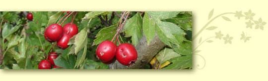 Kräuterwanderung mit Celia Nentwig, Weissdorn-Früchte