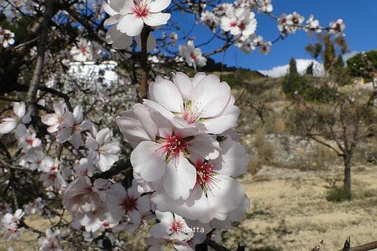 Mandelblüten, © Birgitta