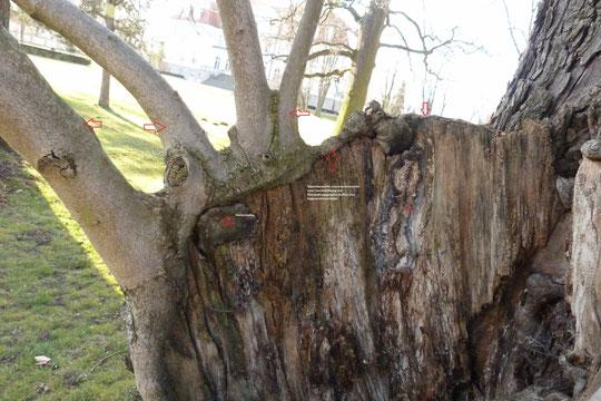 Überlebenswille an einer Kastanie: morsche Restwandung mit Wundgewebe (Kallus) und Regenerationstrieben