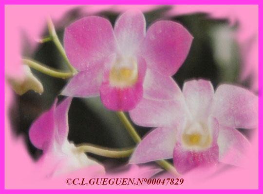Un Dendrobium de type D.Phalaenopsis originaire d'Hawaï..