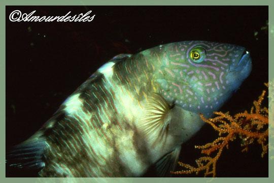 Un autre poisson perroquet