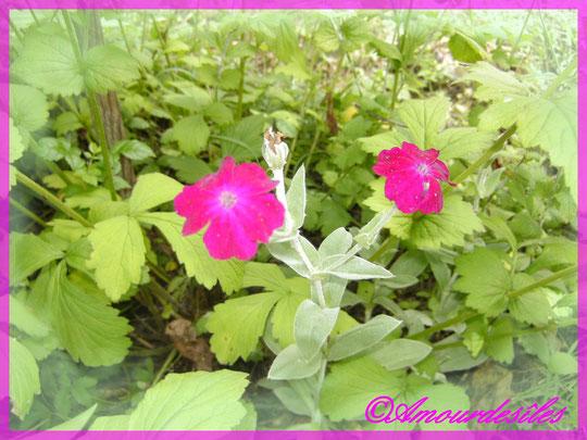 petites fleurs de couleur fuschia, j'ai oublié son nom!