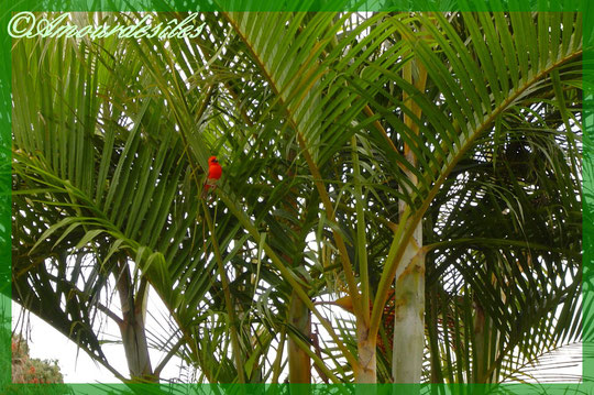 Un joli petit CARDINAL rouge écarlate de l'Ile de la Réunion, en liberté posé dans un Palmiste...