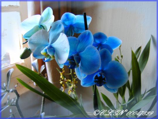 Un magnifique Phalaenopsis bleu que j'ai reçu en cadeau pour Noël 2010