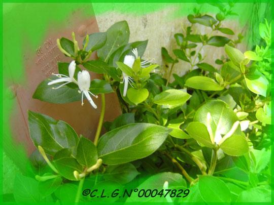 Très jolies petites fleurs de Chèvrefeuille d'un blanc pur!