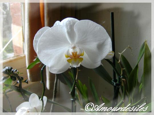 Deuxième floraison de mon phalaenopsis blanc et jaune