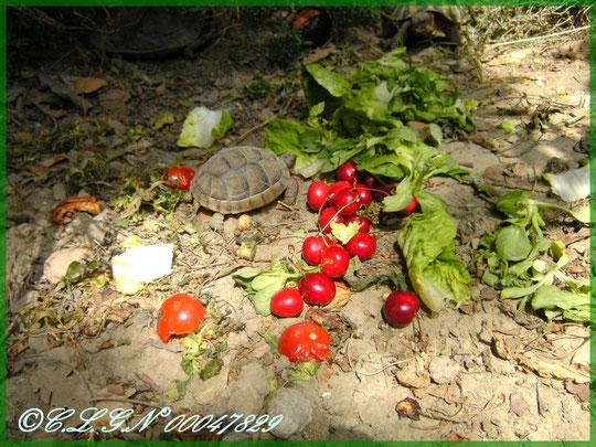 Mâche, Sucrine, Cerises et Tomates...Un vrai régal!
