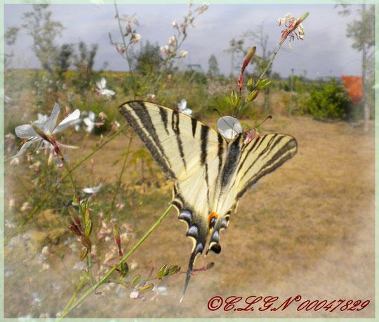 Très beau papillon, insolite...Toujours chez Ma Soeur!