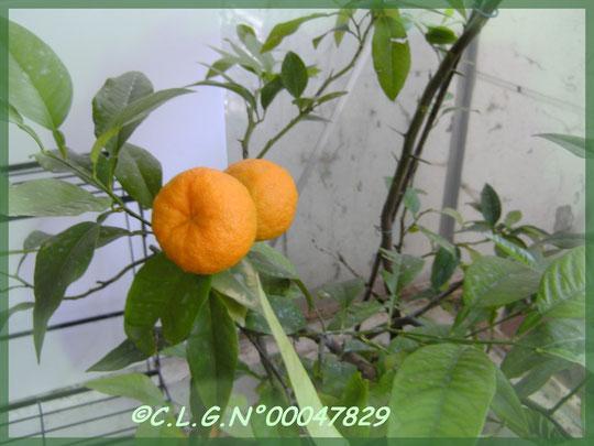 Mandarines en tain de mûrir