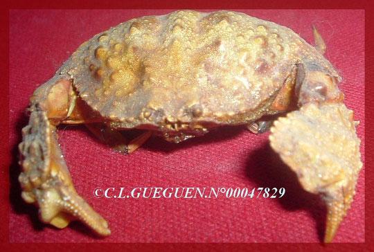 CRABE OUVRE BOITE CALAPA CALAPA : particularité du crabe, se confondre avec un caillou, ce crabe n'est pas aggressif et se nourrit la nuit de coquillages...