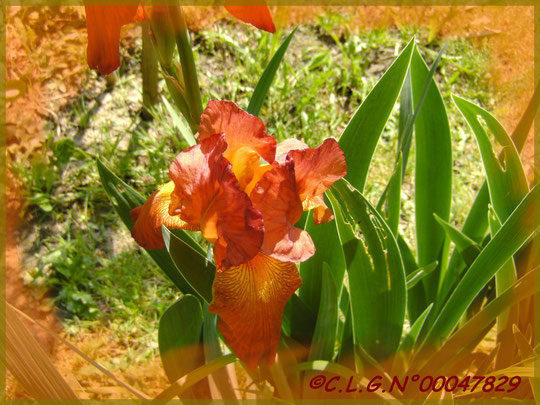 Iris orangé très parfumé!