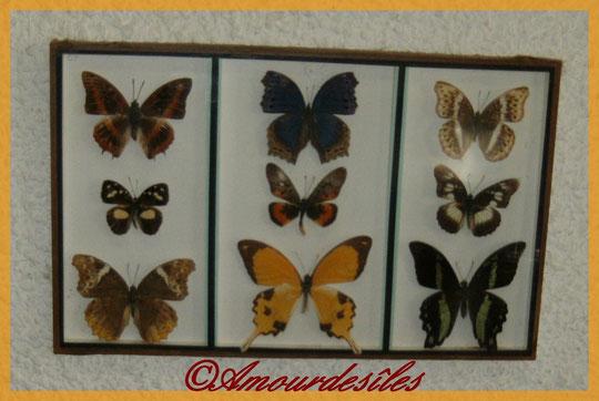 Nouveau tableau de papillons d'Afrique