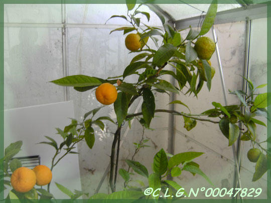 Plus d'une quinzaine de mandarines ce printemps 2011!