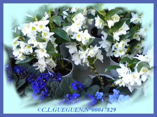 Ici, des Dendrobiums de couleur blanc au dessus de petits pieds de violettes bleues.