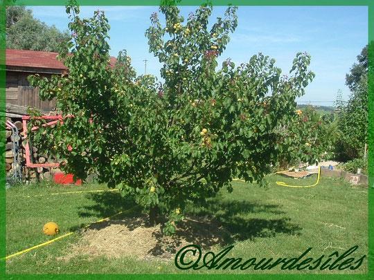 Magnifique Abricotier chargé de ses fruits délicieux!