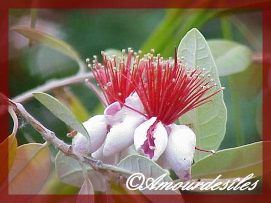 Très jolies fleurs du goyavier du Brésil