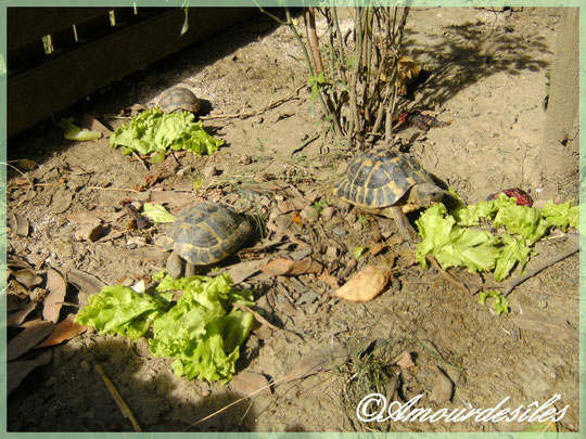 Août 2011 : Wallis, Tiki et Ouvéa en train de déguster en plein soleil de la scarole...