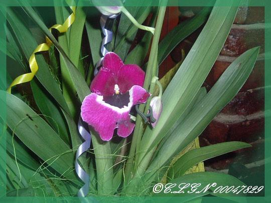 Un Miltonia ( orchidée Pensée )