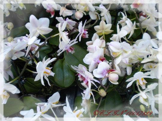 D'autres Palaenopsis aux fleurs plus petites