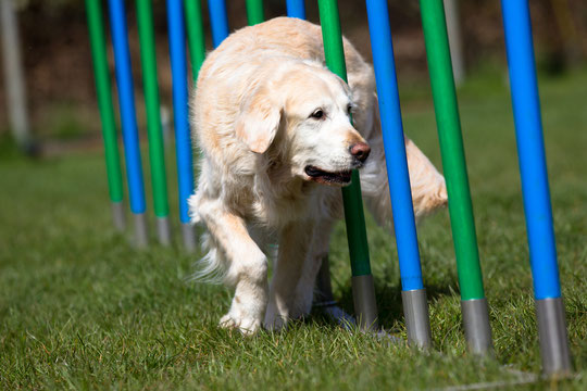Golden Retriever Agility Training