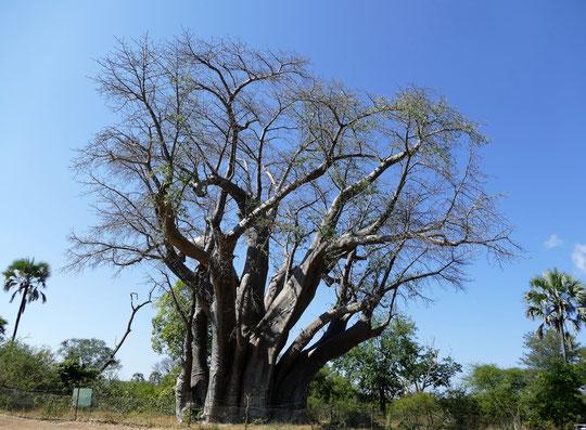 tout près des chutes ce baobab serait très vieux