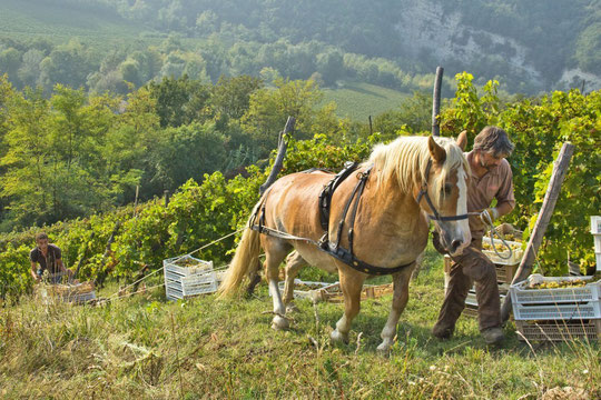 Fortetto della Luja, vendanges avec le cheval