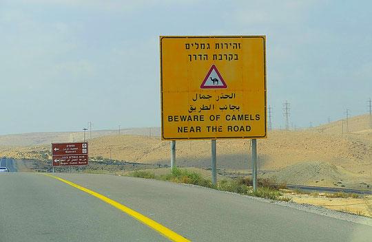 Ce panneau nous a fait sourire...                                                                                                    mais un peu plus loin, derrière un virage, deux chameaux en liberté se trouvaient au bord de l'autoroute