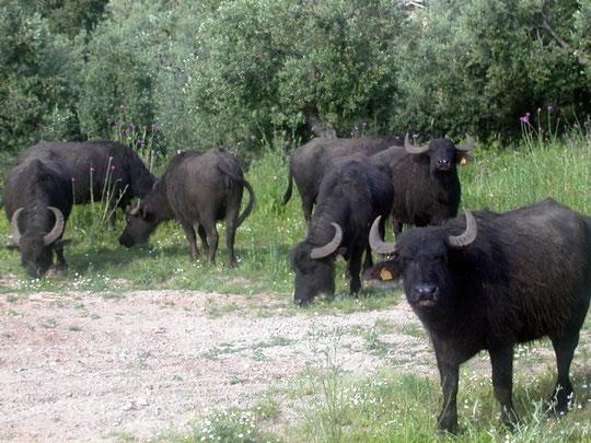 buffles en Campanie