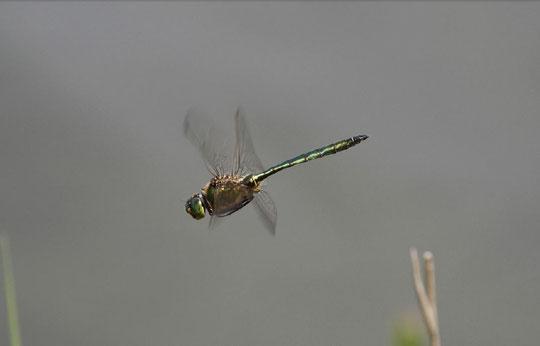 Glänzende Smaragdlibelle, Männchen