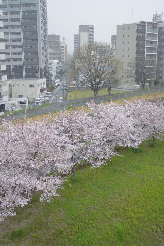糸田川の桜 江坂・山本鍼灸院
