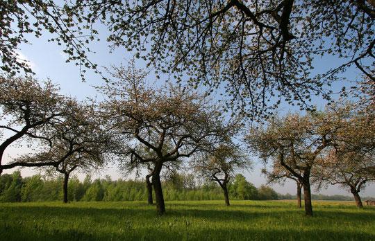 Streuobstwiese - Lebensraum von Steinkauz, Schleiereule und Fledermäusen   / Foto: Schneider
